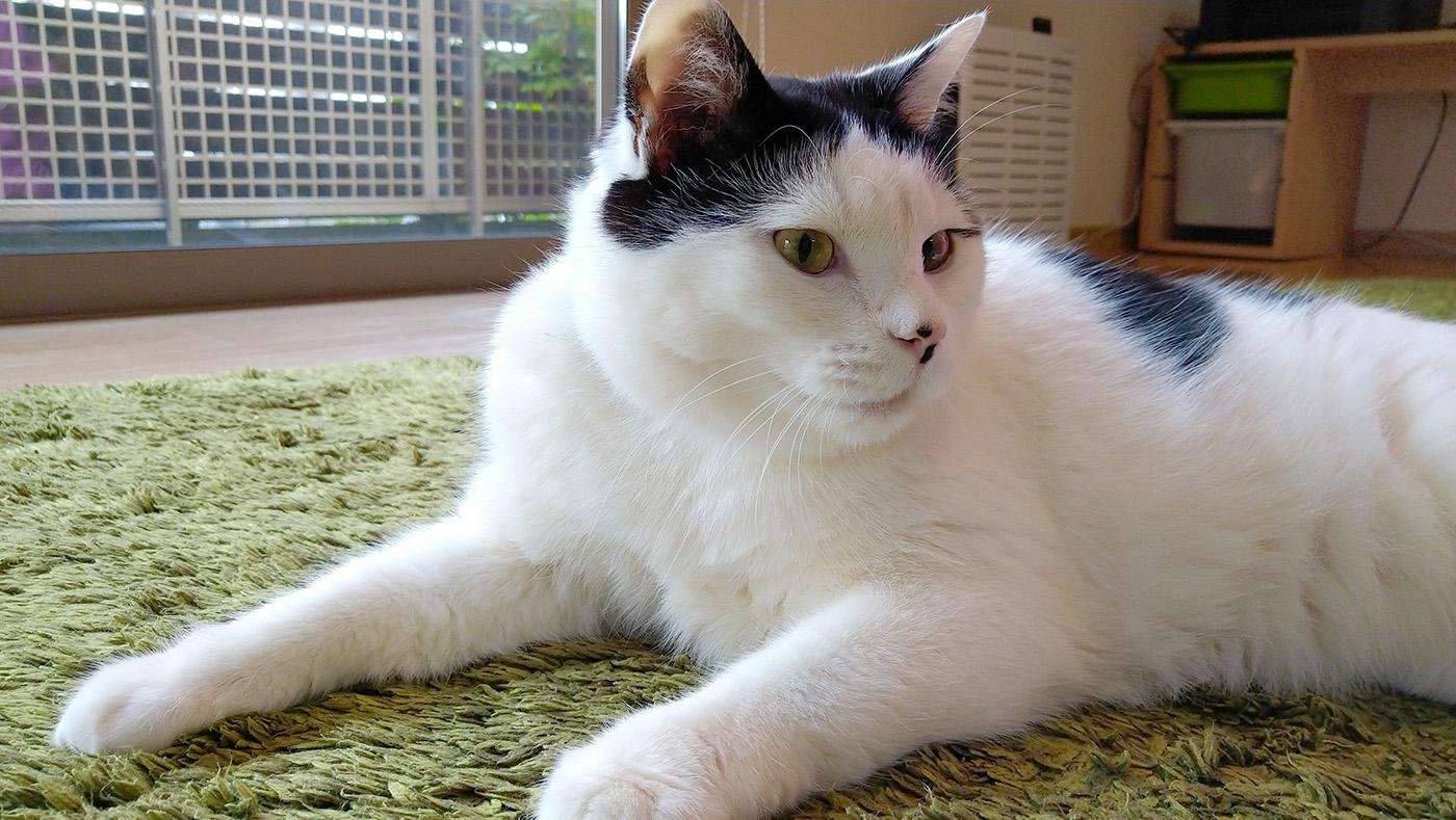 【体験談】愛猫の動脈血栓塞栓症|こてつの場合