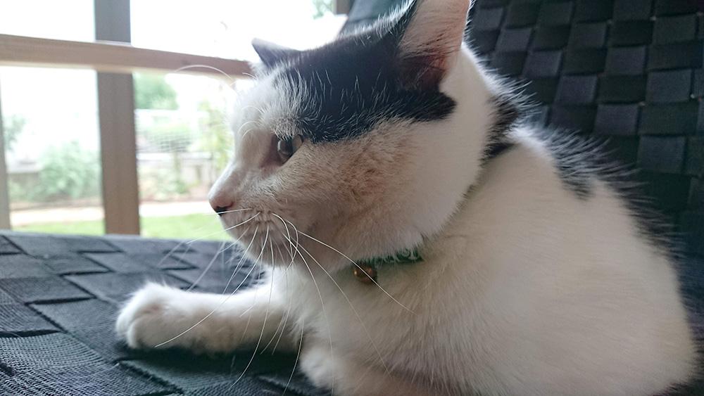 猫さんの迷子対策に首輪をつけました