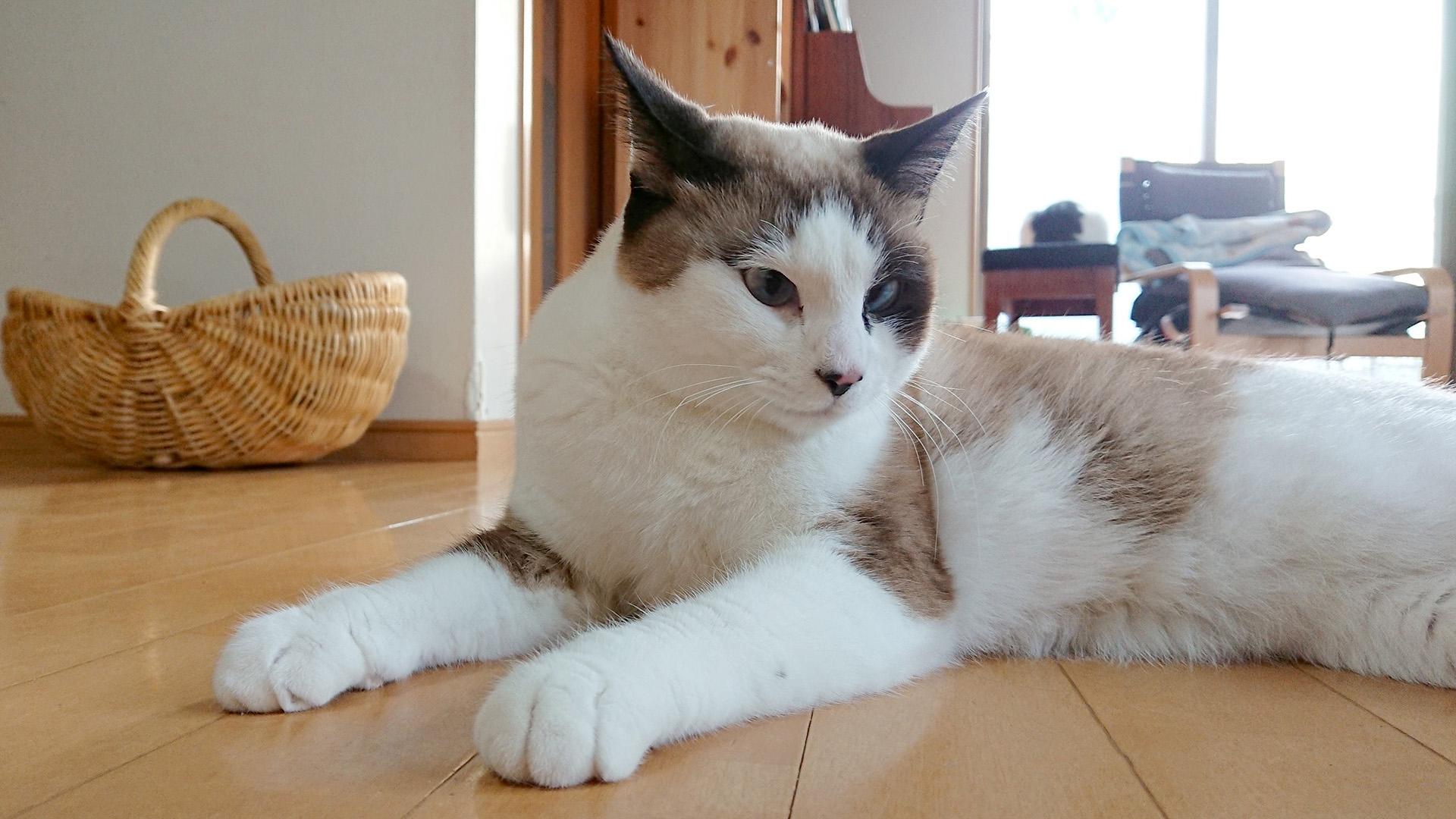 【猫さんの病気】猫さんの皮膚病は被毛に隠れて進行する?! かさぶた・脱毛・発疹に要注意!