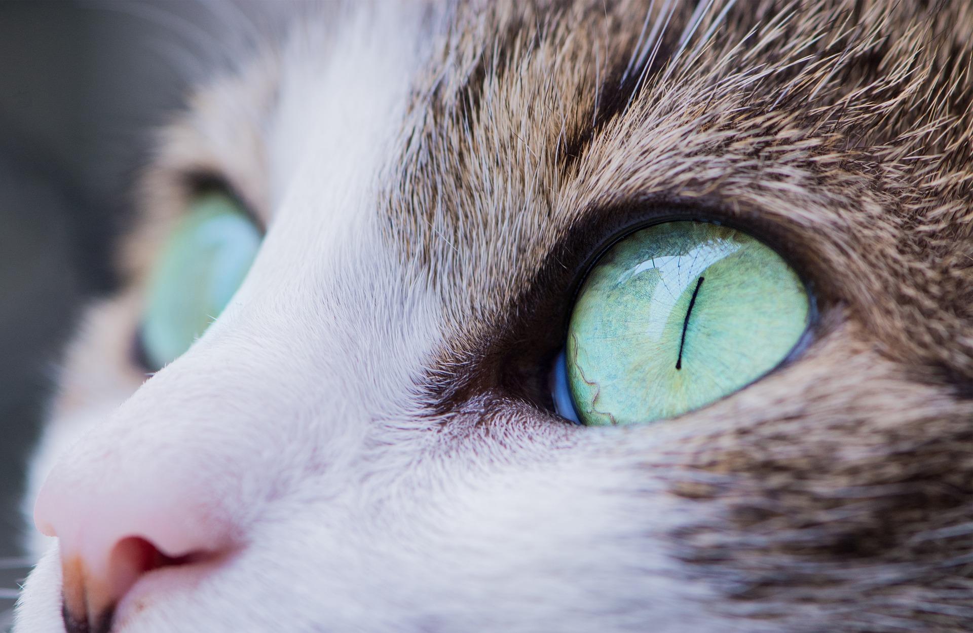 【猫さんの病気】猫さんの目やにはトラブルを知らせる大事なサイン!放置すると失明の恐れも…